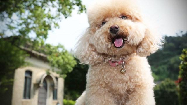 Az uszkár az egyik legkedveltebb kutyafajta