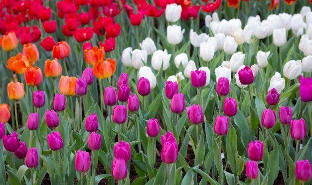 Hollandia tulipán földjei ilyenkor a leglátványosabbak
