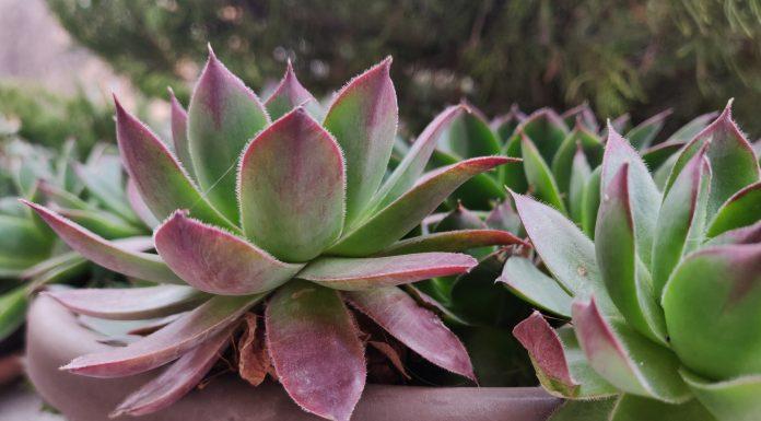 A rózsaszín szobanövény ma igazán trendi