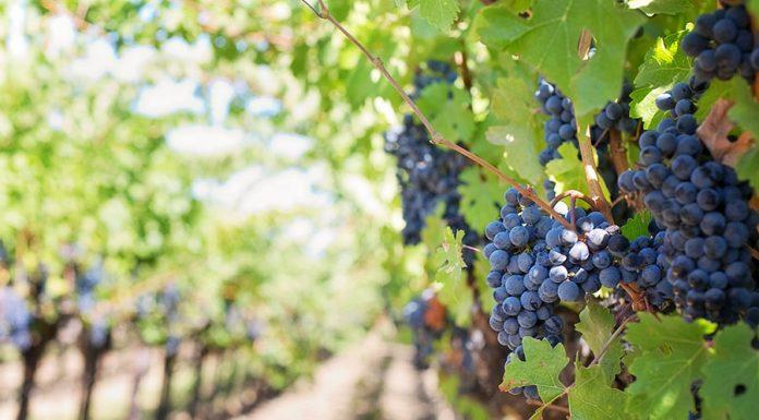 A jótékony hatású őszi gyümölcsök sorában a szőlő előkelő helyet foglal el.