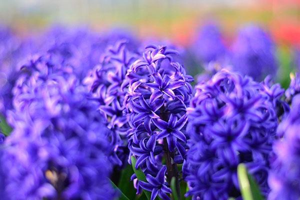 Tavaszi virágok az otthonodba - jácint