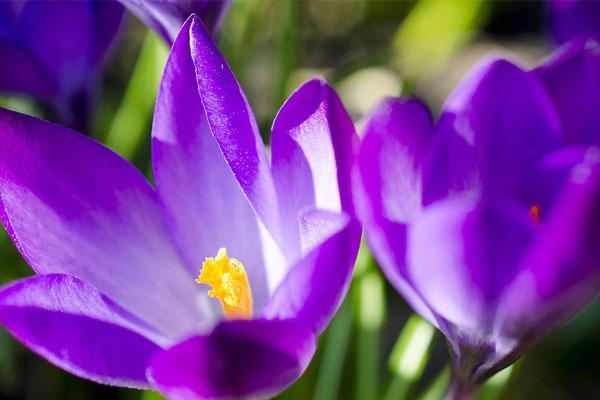 Tavaszi virágok a lakásodba - krókusz